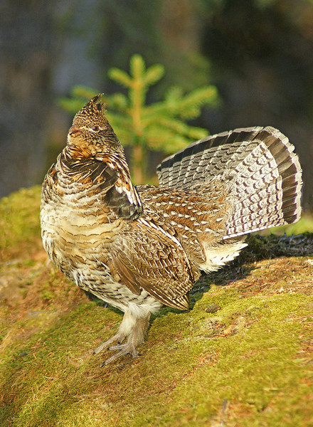 Cascade Ruffed Grouse 001<br /> <br /> I thought I would include a couple of ruffed grouse photos that I got earlier in the week at Cascade River State Park.