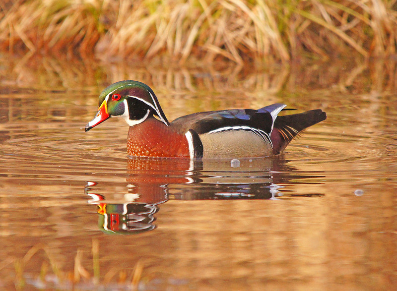 Wood Duck 001<br /> <br /> Each spring I wait with anticipation for our ponds to become ice free and the arrival of the first wood ducks. Wood ducks are one of the most beautiful species of waterfowl as they have all the colors of the rainbow in their plumage.