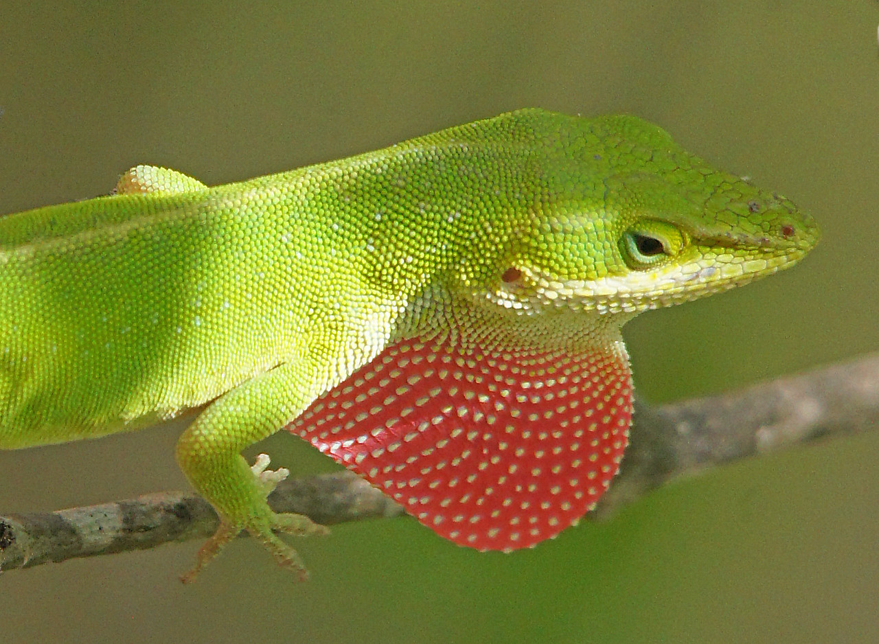 Anole 002<br /> <br /> When the male displays the red dewlap under its neck for the female it looks like a fire breathing dragon.
