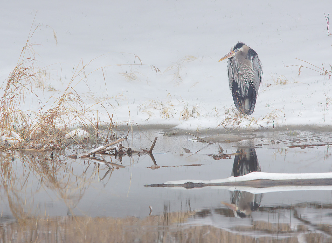 Blue Heron<br /> <br /> We spent Easter with our daughter and granddaughter in Atlanta.  We had one last snow storm before we left Minnesota. This lonely very disgruntled blue heron was sitting by our pond wondering why he had ever came this far north.
