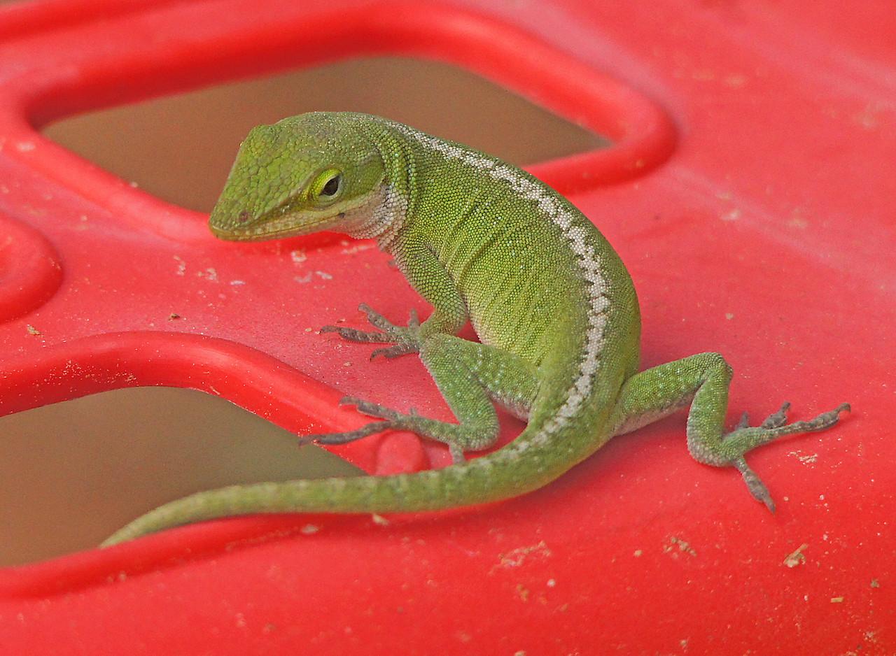 Anole 003<br /> <br /> Here is the little female.