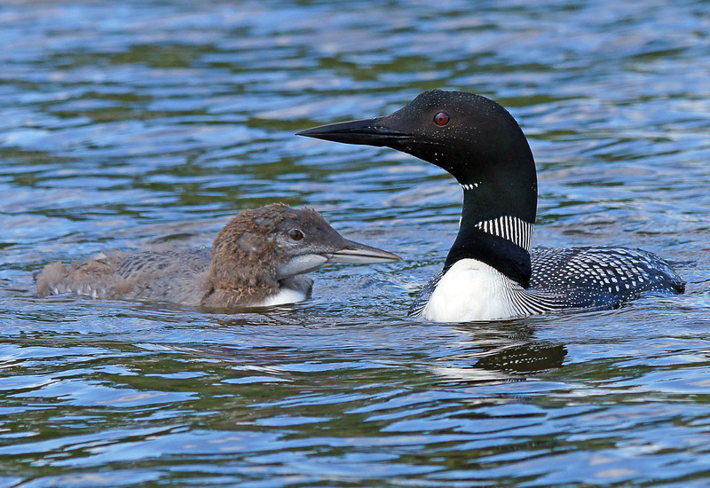 Canoe Country 003<br /> <br /> We found a beautiful campsite overlooking Wind Bay. The loons also liked it. Five loons hung out every day in front of our campsite. One of my favorite pastimes in the BWCAW is listening to the call of the loon. Even though loons are on most Minnesota lakes there is just something about the haunting call of the loon that stirs up that wilderness feeling inside of me.  We also encountered one loon with its baby.