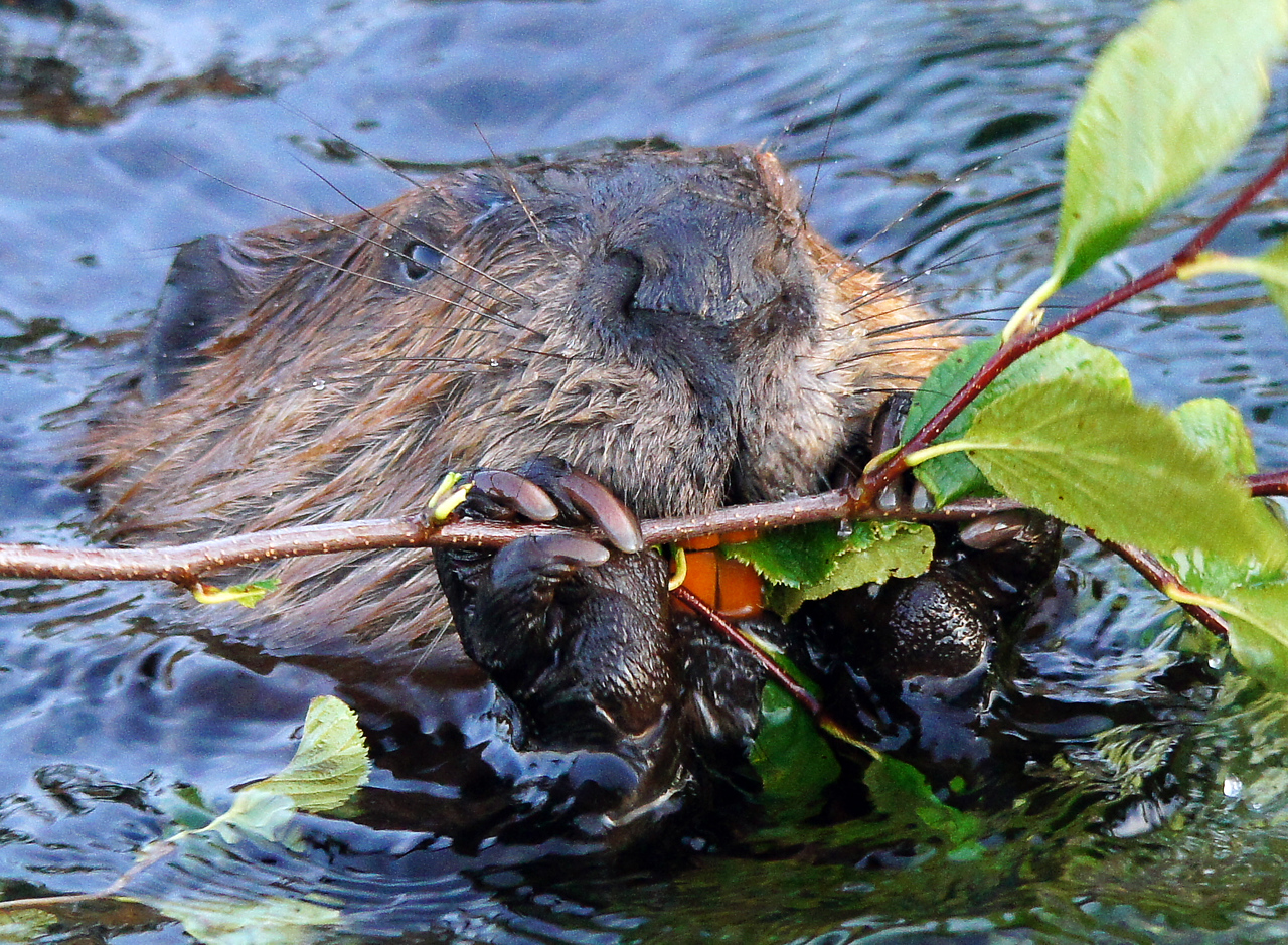 Beaver Family 008<br /> <br /> In this photo you can see the adult's huge teeth that are used to cut down trees.