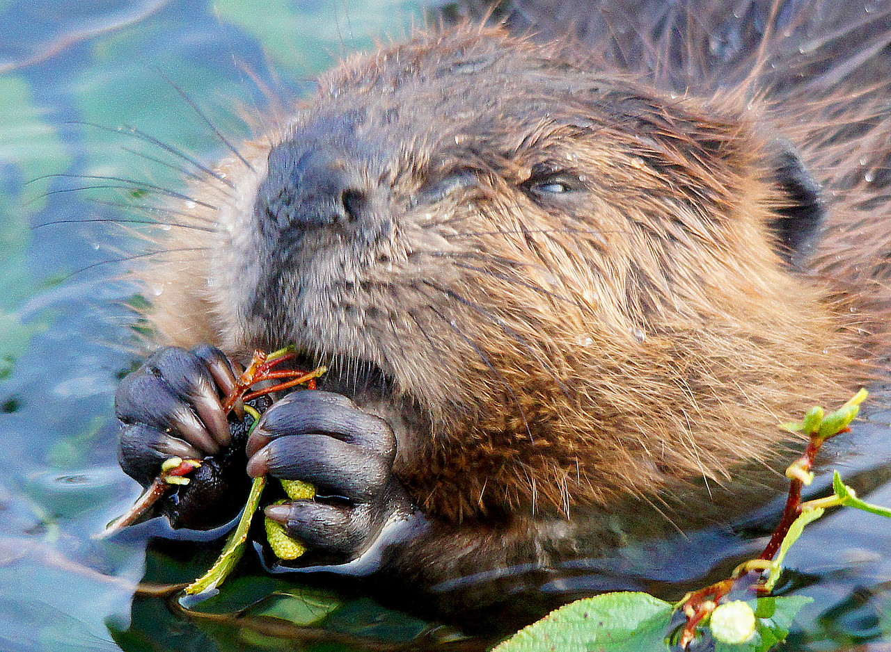Beaver Family 007<br /> <br /> The beaver use their front feet like hands. Their long toes look just like fingers and are able to turn a tiny branch in a circle as they feed on it. They remind me of gorilla fingers.