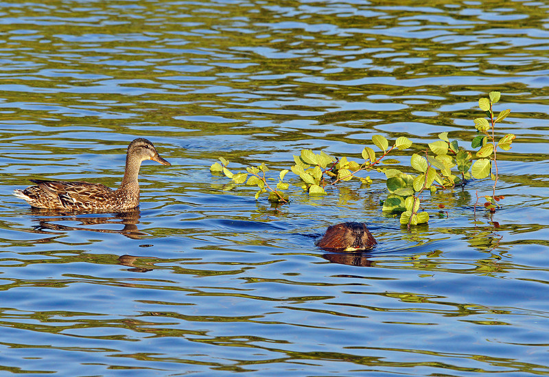 Beaver Family 006<br /> <br /> One evening the largest beaver pulled a branch across the water. A young mallard started to follow the beaver. It kept swimming closer and closer until it was right over the beaver's tail. The ducks feet apparently touched the beaver's tail as up came the tail and slapped the water. What was so funny is as the tail came up it catapulted the duckling into the air. The mallard landed on the shore and quacked at the beaver for at least fifteen minutes. He was very mad. It happened so fast that I never got a picture. I wish I could have got a photo of the duck fling.