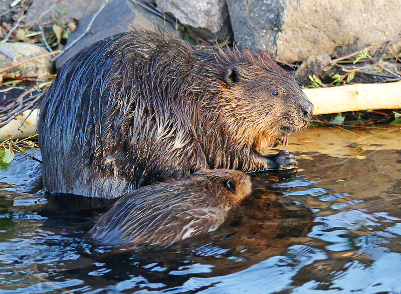 Beaver Family 004<br /> <br /> Here is the largest adult and one baby.