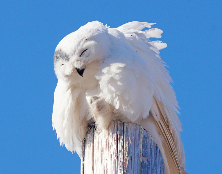 Snowy Owl 002<br /> <br /> We took some photos of the owl preening his feathers.