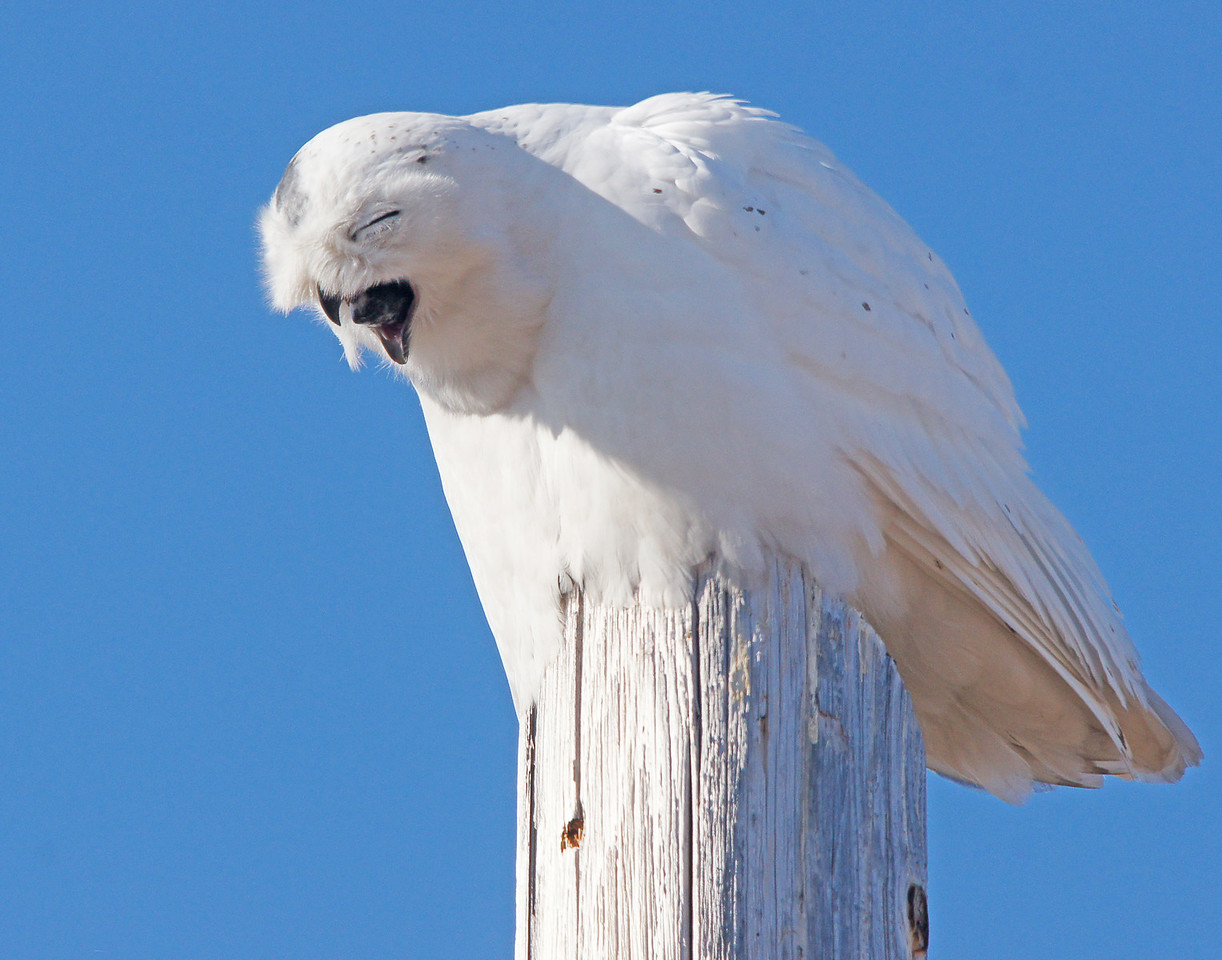 Snowy Owl 003<br /> <br /> He appeared as though he was yawning when all of a sudden he coughed up a pellet.