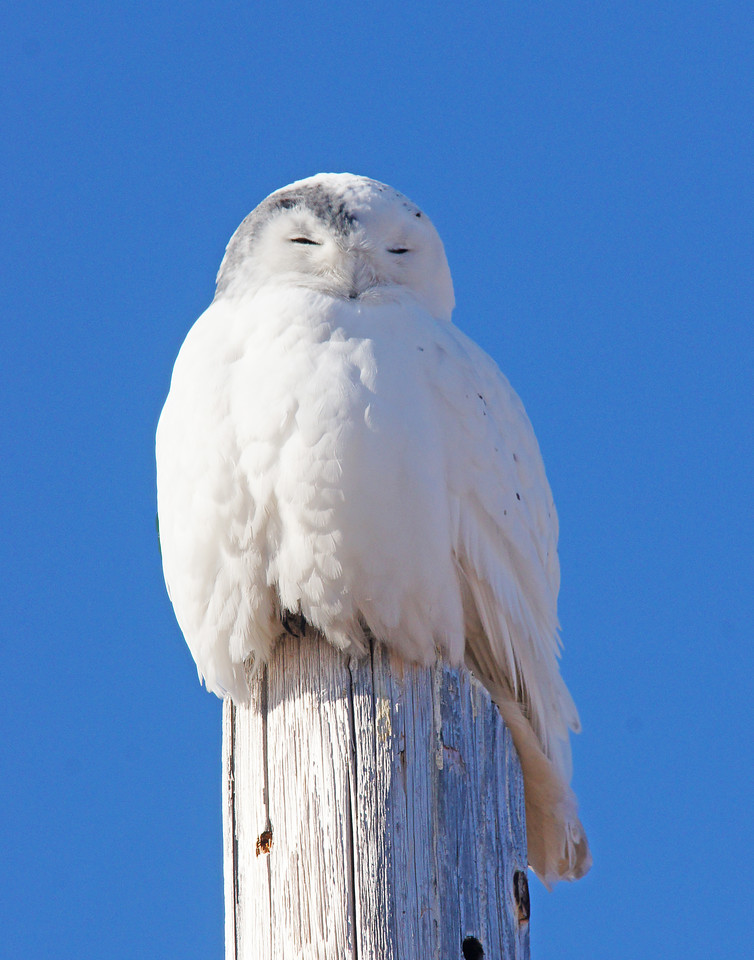 Snowy Owl 001<br /> <br /> We continued to Duluth where a snowy owl has been seen around the fairgrounds outside of Superior, Wisconsin.  As we drove down Tower Avenue it was sitting on a pole just past the fairgrounds. The owl wasn't afraid of us at all. He just sat on his pole resting in the afternoon sunshine.