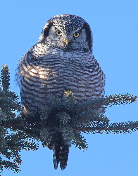 Northern Hawk Owl 001<br /> <br /> A friend of mine wanted to take a trip down the shore to see if we could locate the owls that I have photographed over the last two weeks. We stopped at Gooseberry Falls State Park to see if the Northern Hawk Owl was still around. We found him in the same tree that he was using a week ago. The staff at the park said that hundreds of people have had the opportunity to see the owl.
