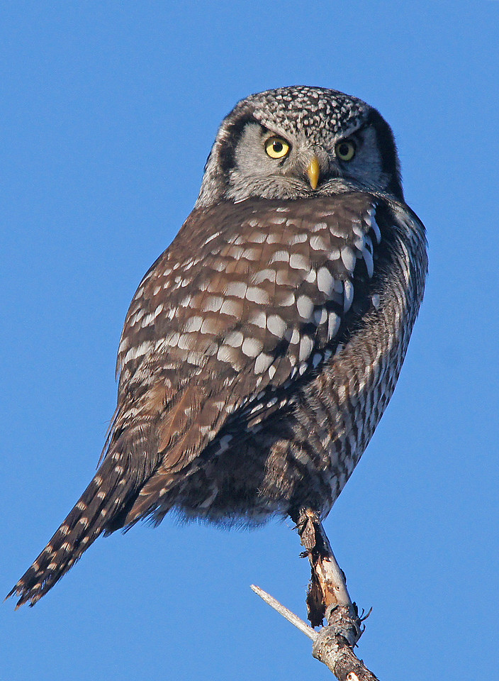 Northern Hawk Owl 002<br /> <br /> Hunting mice in the park must be pretty good this time of year.