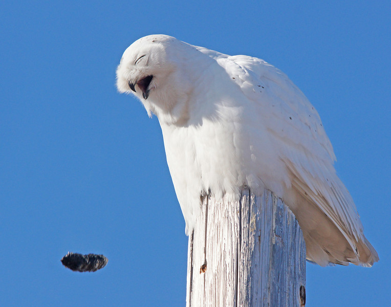 Snowy Owl 004<br /> <br /> Luckily I shot a burst of photos at approximately 10 frames per second and caught the action. About 10-16 hours after an owl has a meal it regurgitates a pellet consisting of the undigested fur, teeth, skulls and bones of whatever it has had for lunch. It might sound disgusting and it looks painfull but it keeps the bird healthy.