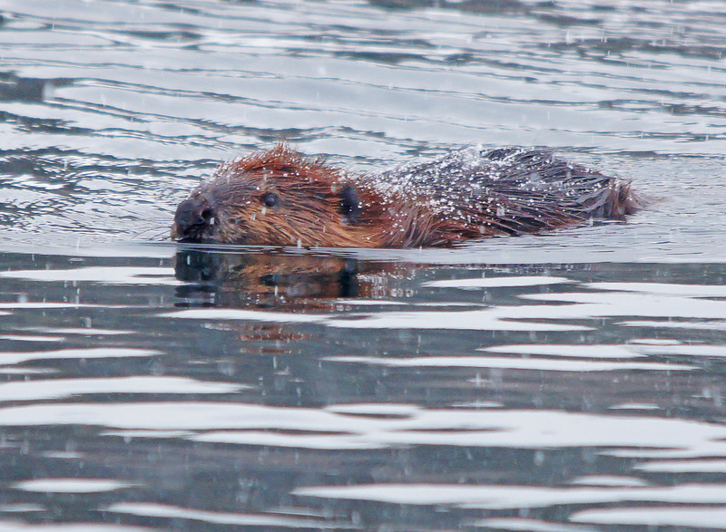 Grand Marais Beaver Enjoying the Snow<br /> <br /> Even the resident beaver in Grand Marais harbor was out enjoying the snow.