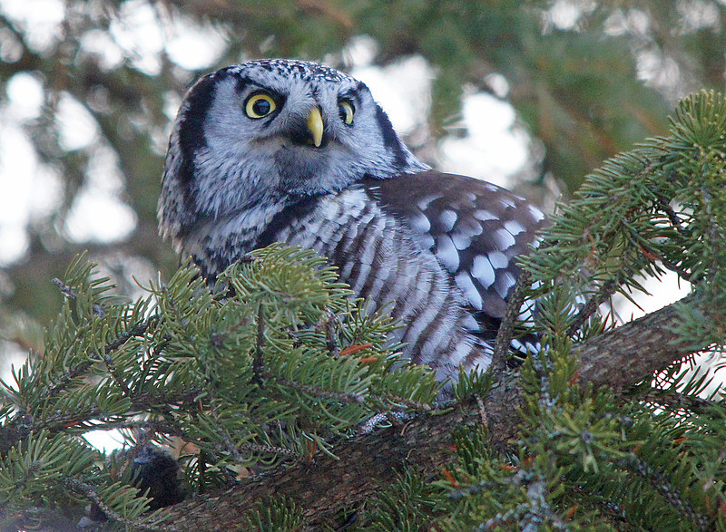 Northern Hawk Owl 003<br /> <br /> After photographing the owl for about 10 minutes I was startled when it flew straight at me missing my head by just a few feet. It landed in a spruce tree right behind me.  It didn't take long to realize the reason why. The owl had cached a mouse on the limb of the spruce tree planning to come back and eat it later. Since I was standing close to the mouse it must have got nervous that I was going to eat its lunch.  The mouse can be seen in the lower left corner of this photo.