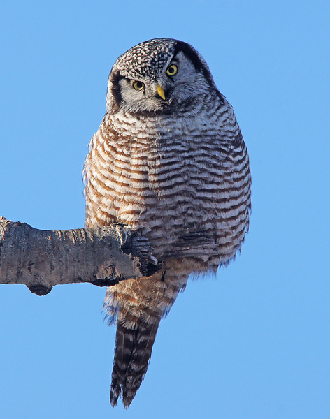 Northern Hawk Owl 001<br /> <br /> A friend mentioned that a Northern Hawk Owl has been hanging around Gooseberry Falls State Park for the last few weeks. Karla and I had an appointment in Duluth on Tuesday so I planned to stop at Gooseberry and try to get some photos. The nice thing about Northern Hawk Owls is that they feed during the day and let you get pretty close.  After parking by the visitor center I followed the bike trail to Hwy 61 where the owl has been hanging out. It took me about 30 minutes to find the owl perched on a branch.  It was moving its head back and forth listening for mice in the tall grass.