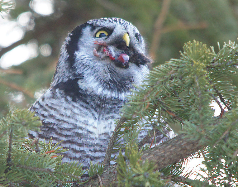 Northern Hawk Owl 005<br /> <br /> Here you can see the little feet of the mouse sticking out the side. I didn't realize how big an owl's tongue was until I saw it in this photo.