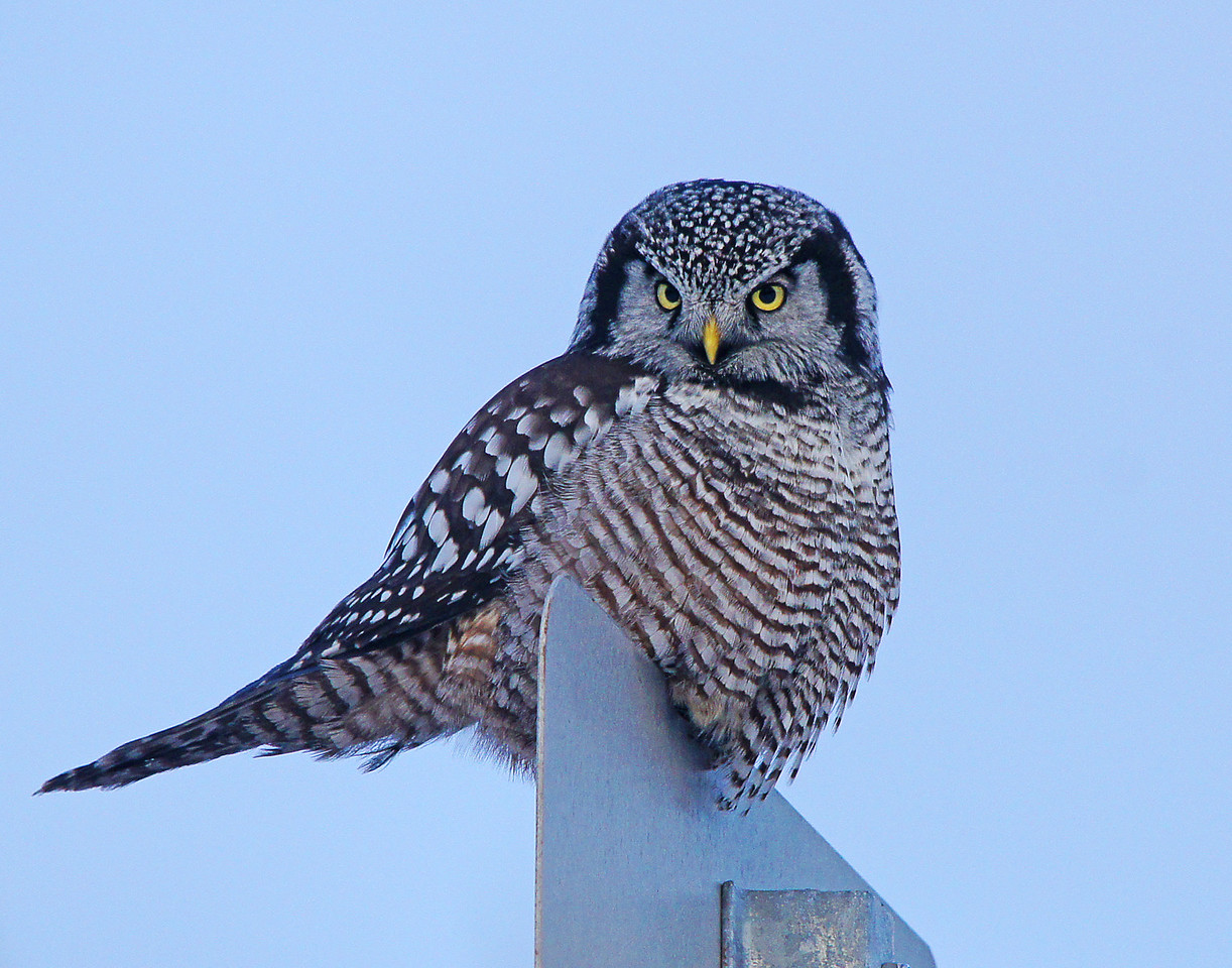 Northern Hawk Owl 007<br /> <br /> It's amazing that an owl can hear a mouse running under the snow in the midst of all the highway noise.