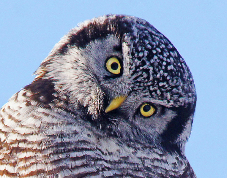 Northern Hawk Owl 002<br /> <br /> I set up my tripod close to a spruce tree and started taking photos. I slowly opened the Velcro on my coat pocket to get the owl to look at me and it gave me a pretty inquisitive glance.