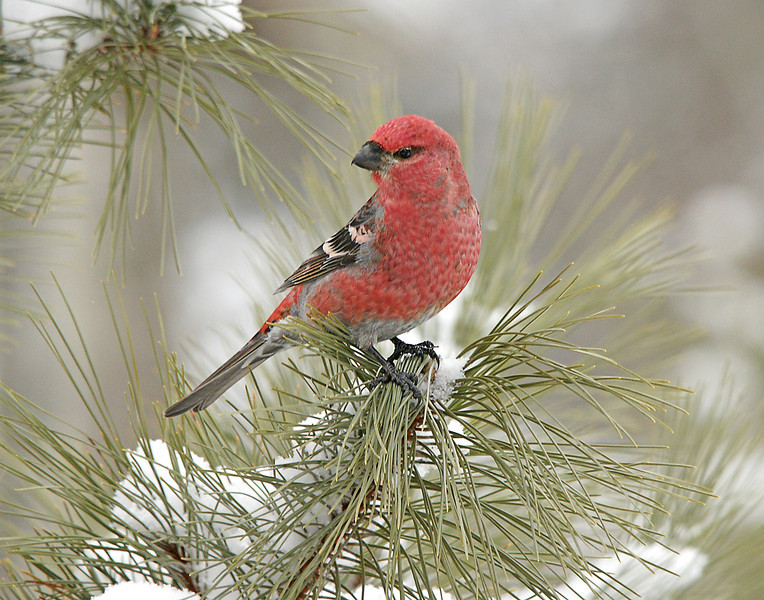 Pine Grosbeak 001<br /> <br /> One of the more colorful birds that I like to watch is the male pine grosbeak.