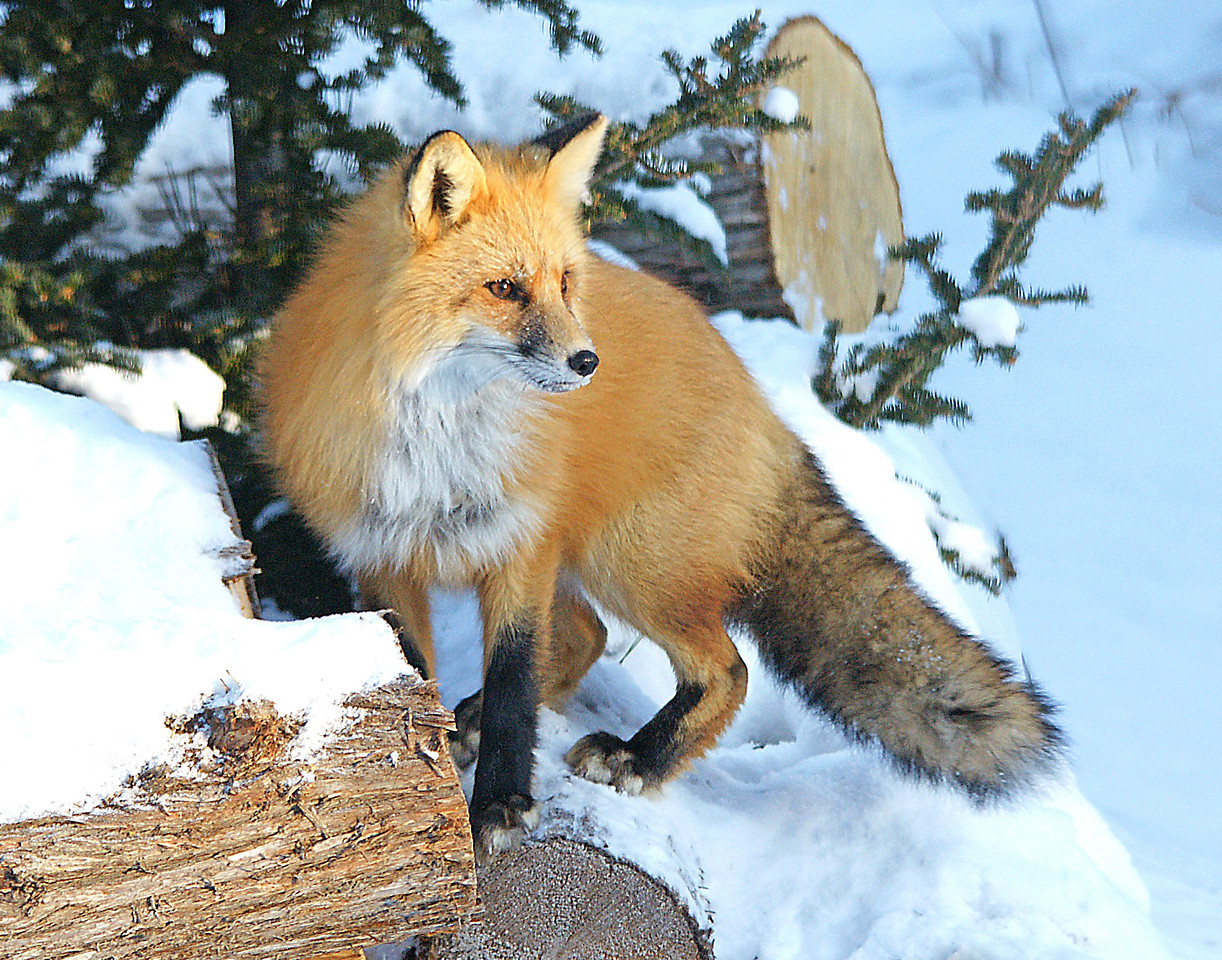 Red Fox<br /> <br /> When you feed birds it seems to attract a lot of other critters. Mice and squirrels come in to feed on the seeds. They are usually followed by predators like the pine martin, bobcat and fox who are always looking for a nice well fed squirrel. This red fox has been coming around at night but with the colder temperatures she ventured close during the daylight hours. This time of year their fur is so thick that it gives them a beautiful appearance.   In this photo she is watching a red squirrel on the other side of the yard.