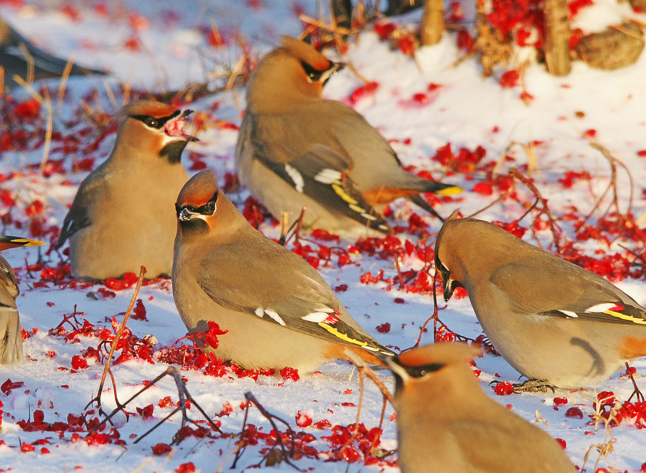 Bohemian Waxwings 003<br /> <br /> The hundreds of mountain ash trees in the Grand Marais campground were heavy with berries this year. For over two weeks the bohemian and cedar waxwings have been feeding heavily on the mountain ash.