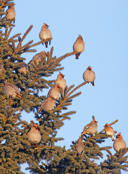 Bohemian Waxwings 002<br /> <br /> There had to have been over a thousand waxwings in the campground which would alternate between feeding in the mountain ash and soaking up the sun in the spruce branches.