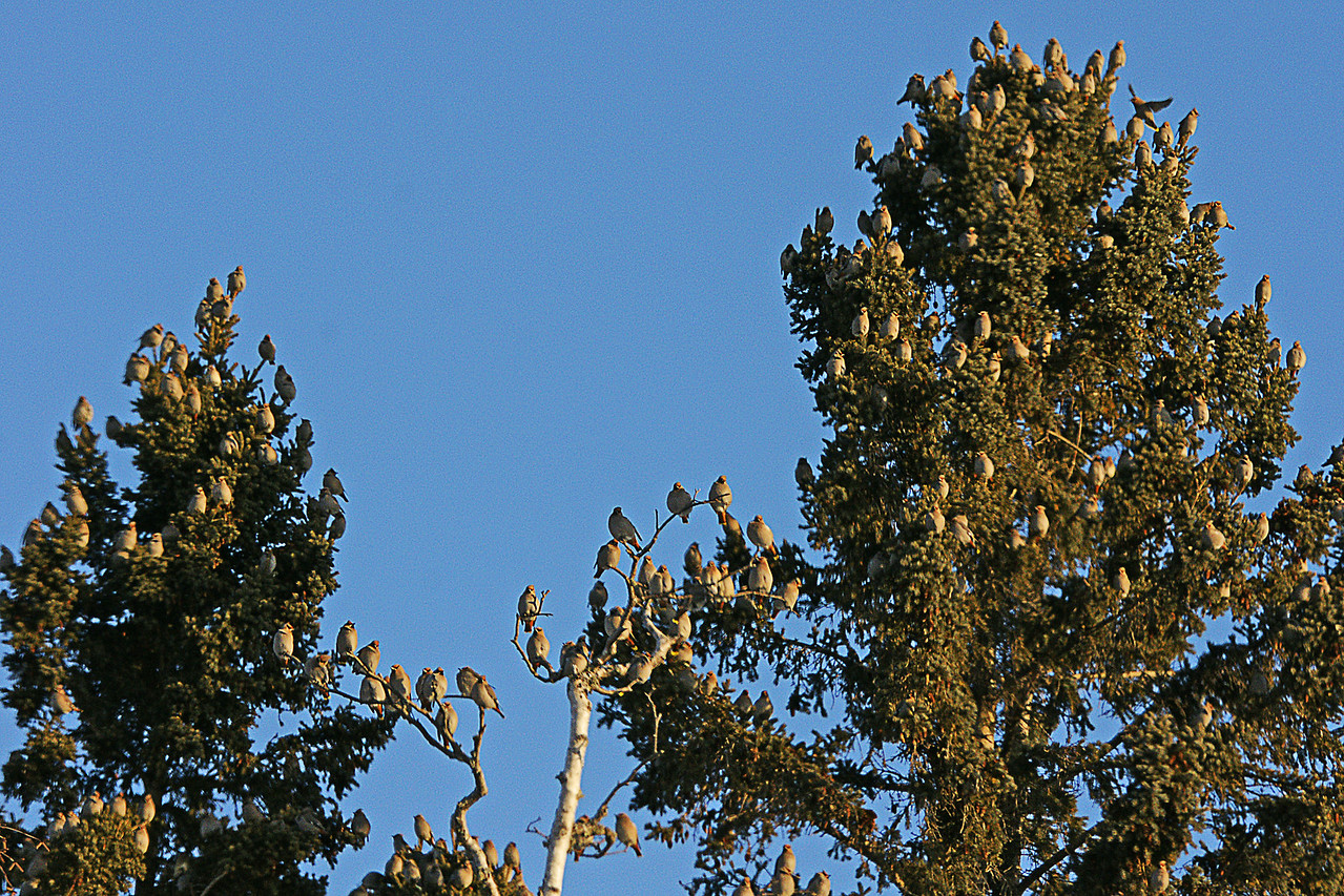 Bohemian Waxwings 001<br /> <br /> With the cold this week they seemed to be in a feeding frenzy.