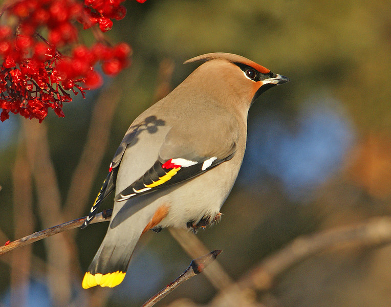 Bohemian Waxwings 007<br /> <br /> It is easy to see where they get their name. The wings look just like they have been dipped in red wax.