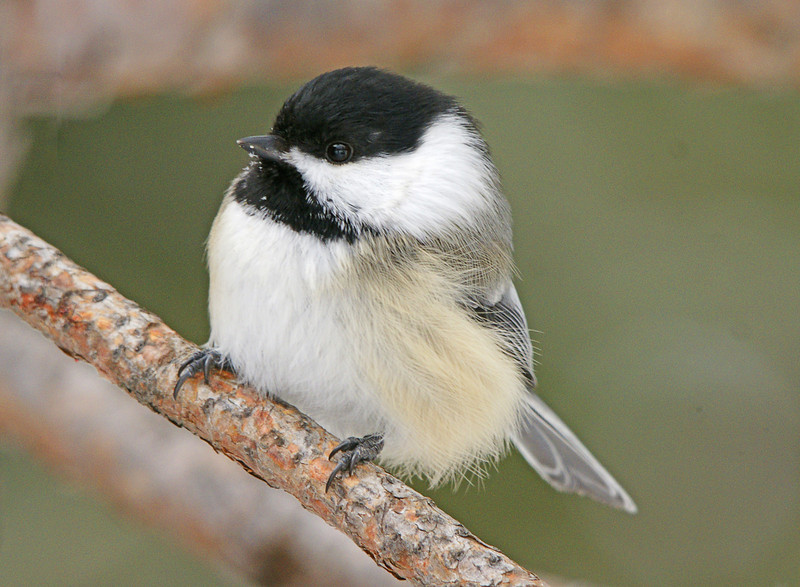 Chickadee<br /> <br /> I always wonder how the birds can survive at -20 but as long as they can get food they seem to be content. This little chickadee just puffed up its feathers and didn't seem to mind the cold at all.