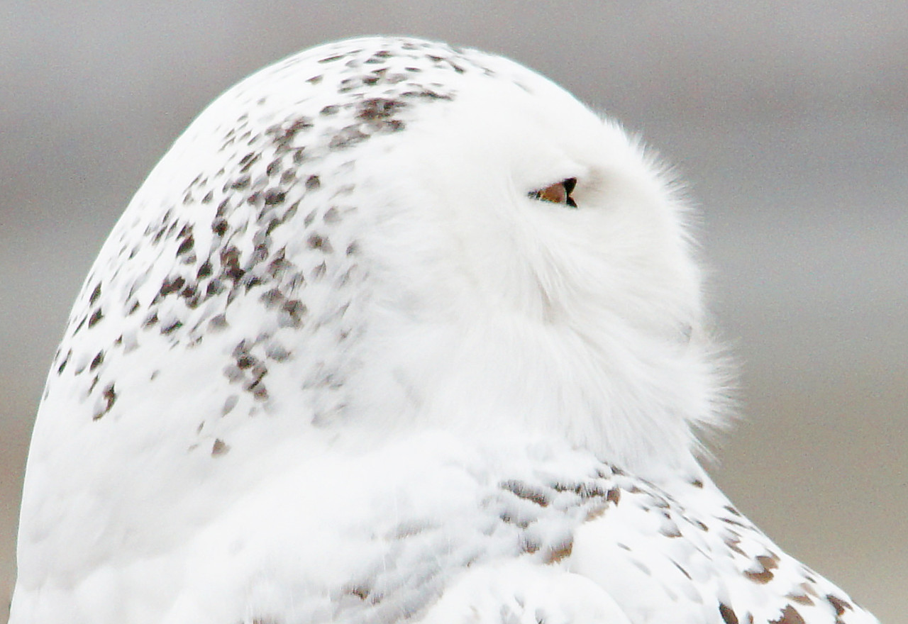 Snowy Owl<br /> <br /> I also encountered a beautiful snowy owl along the lakeshore. It was perched on some old equipment in a grassy meadow watching for mice. I think their facial feathers are so fascinating. These fine feathers are designed to keep them warm when the winter cold sets in.