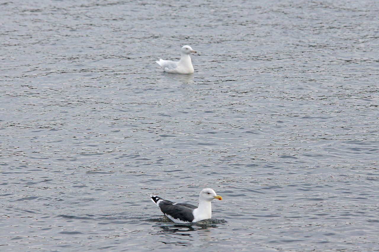 Uncommon Gulls<br /> <br /> I was fortunate to see a couple of gulls that are common along the Atlantic coast but uncommon in Duluth. One was the Glaucous Gull and the other one was the Great Black-backed Gull. I was able to get a photo of both of them swimming together.