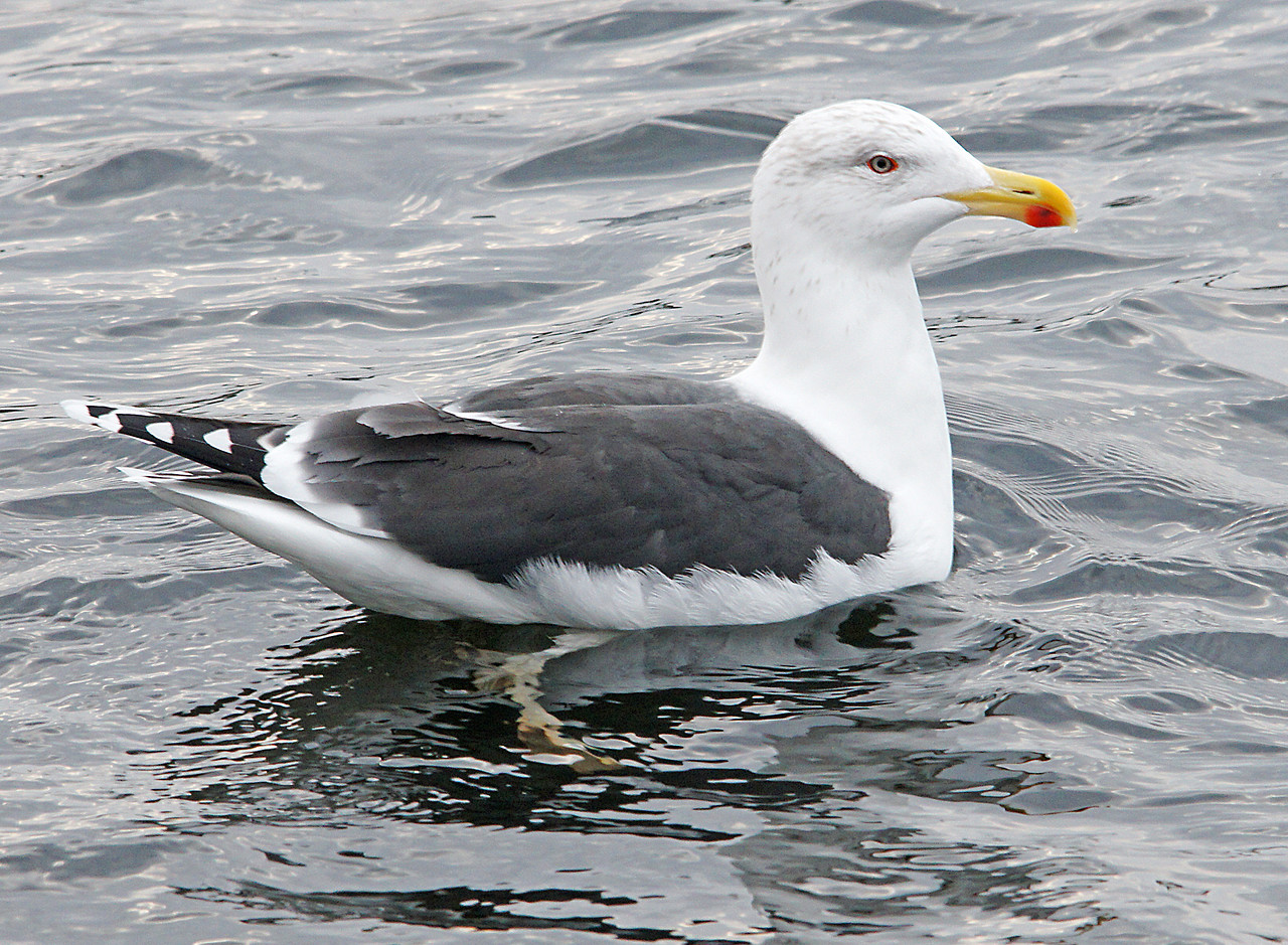 Great Black-backed Gull<br /> <br /> I think the Great Black-backed Gull is prettier than our resident Herring Gulls. The red spot on this gull's bill it is not a wound. The baby gulls peck this spot when they want to be fed.