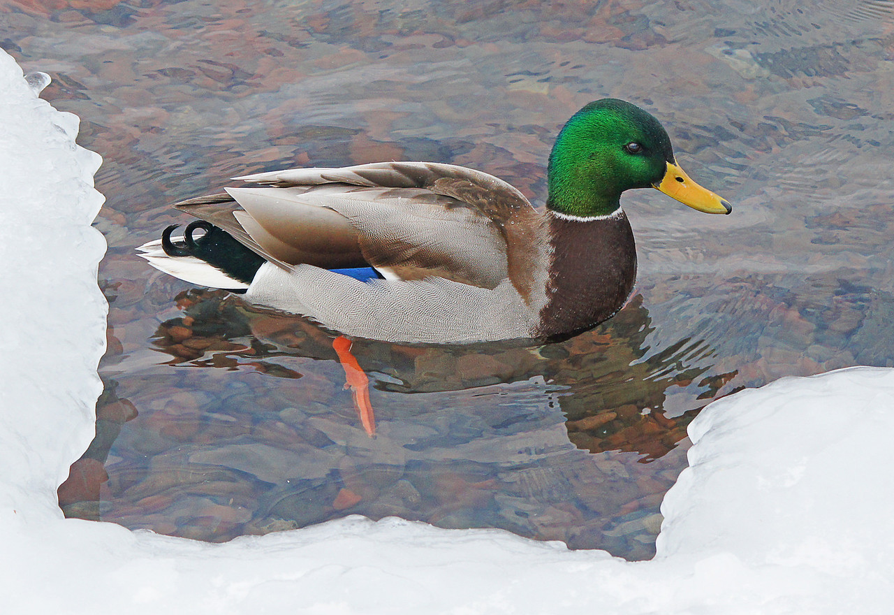 Mallard 002<br /> <br /> There were close to a hundred mallards and gulls feeding along the shores of Lake Superior. The water in Lake Superior is so clear you can see the rocks below.