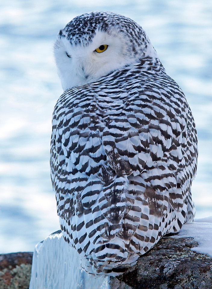 Snowy Owl Grand Marais Harbor 003<br /> <br /> I hiked out on the point but was having trouble locating her. Before long a flock of crows gave her location away. They called and dived on the owl making quite a racket. The owl was easy to find at that point. I chased the crows off and got close for a few more images. I thought the owl would appreciate me chasing the crows away but as you can see she was pretty cranky by that time.