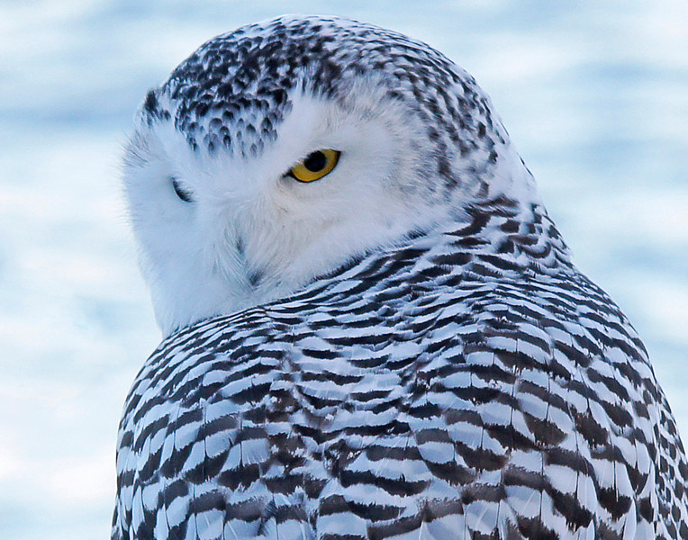 Snowy Owl Grand Marais Harbor 004<br /> <br /> The face and beak of the snowy owl has feathers so thin and fine that they look like fur. This insulation can keep them warm as they spend most of their time in the arctic where temperatures can reach -80°F. I felt very fortunate to be able to walk up on one of our northlands most beautiful creatures.