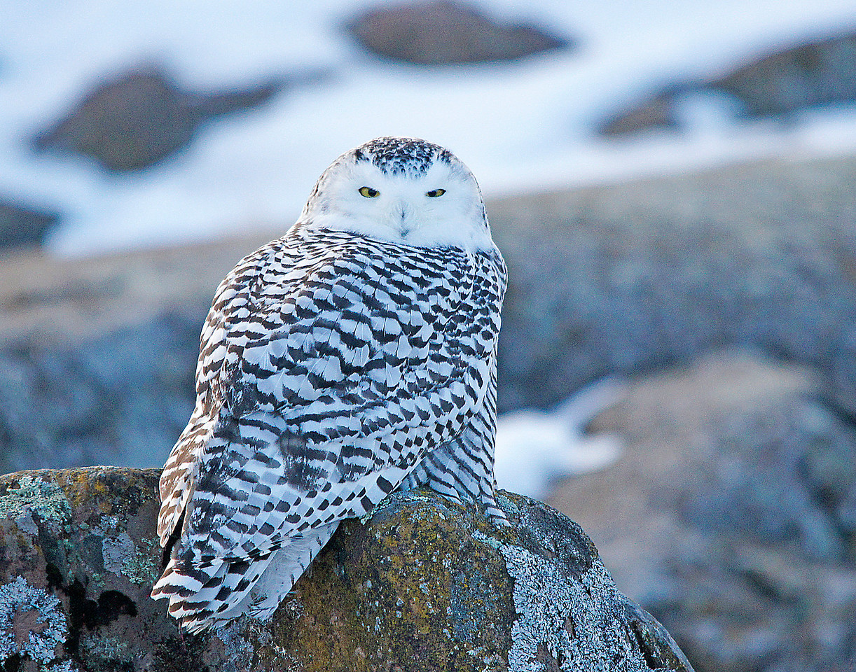 Snowy Owl Grand Marais Harbor 001<br /> <br /> There in front of me right along side of the trail was a beautiful snowy owl. Snowy owls are one of the largest owls in the world. They live on the tundra but sometimes come down to United States during the winter. This snowy was so well camouflaged that I wouldn't have even seen her had she not moved her head to look at me. The feathers on her back blended right in with the lichens on the rock. The snowy was very tolerant of my presence.