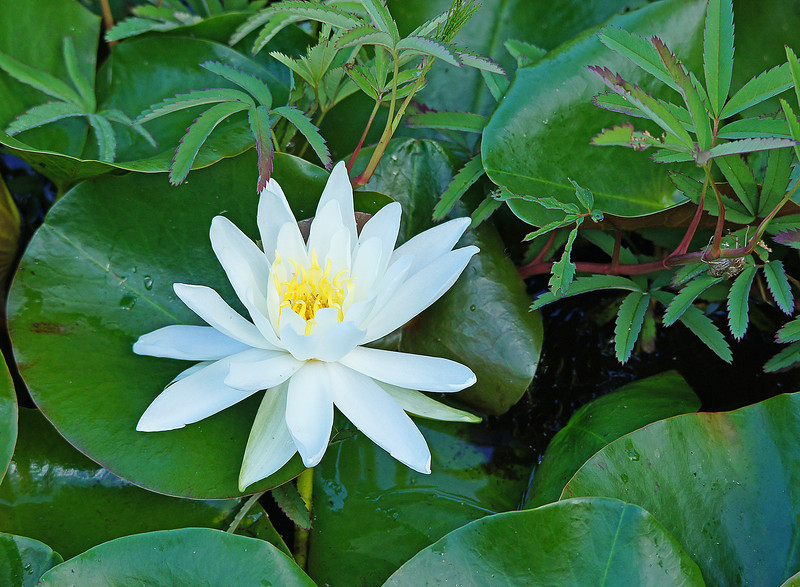 Fragrant Water-Lily 003<br /> <br /> This growing season seems to be ideal for them. There must be over 300 blooms that have appeared in the last two weeks.