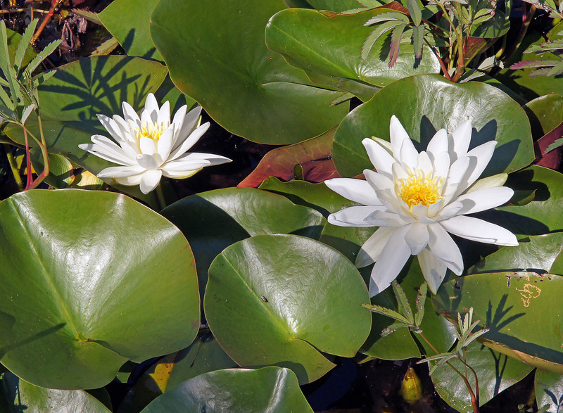 Fragrant Water-Lily 002<br /> <br /> They have platter-like floating leaves and numerous tapering petals. Just like their name implies they are very fragrant.