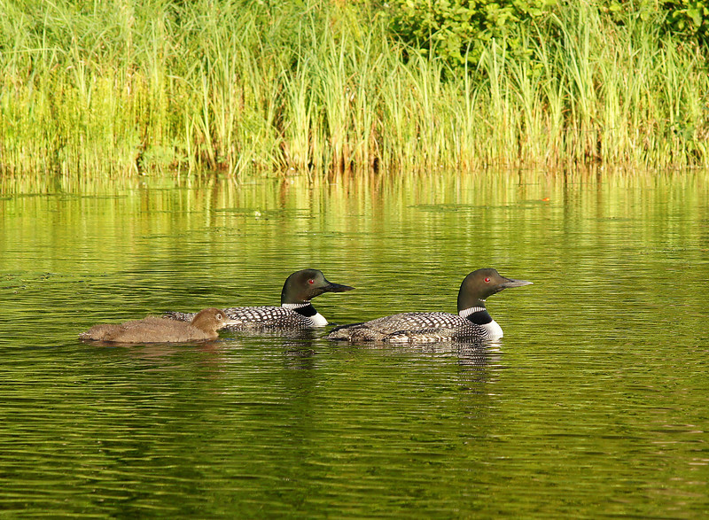 Loon Family 006<br /> <br /> The only time one of the adults got nervous was when the baby came up on the other side of the canoe and neither adult could see it.