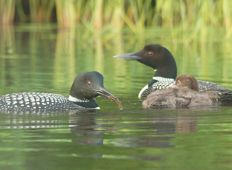 Loon Family 001<br /> <br /> The forecast called for a nice weekend so Karla and I took the tent and camped at Savanna Portage State Park.  As we were setting up the tent Karla noticed that a loon family was out on the lake.  We rented a canoe so that in the morning I could get some photos.  After dark we heard both the loons and a barred owl calling from across the lake.  Come sunrise I found the loons feeding their baby in the early morning fog.