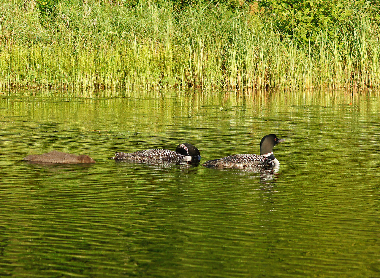 Loon Family 004<br /> <br /> It was such a calm morning I just floated in my canoe watching the interaction between both adults as they trained their baby in the art of how to catch a minnow.