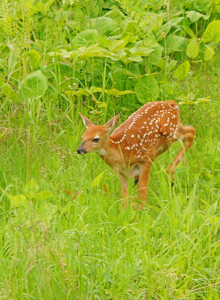 Newborn Fawn 003<br /> <br /> But it isn't long and they are running after their mom.