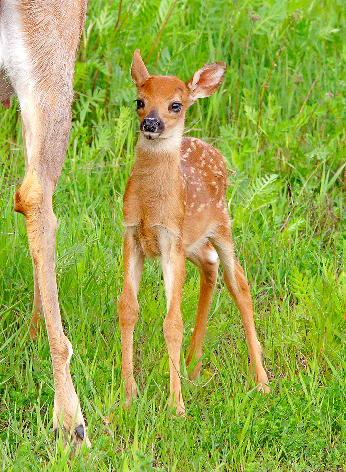 Newborn Fawn 002<br /> <br /> They look so awkward when they first start to stand up.