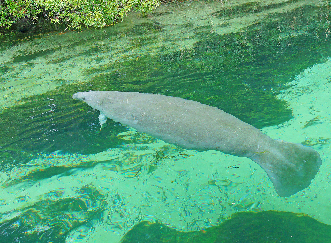 Wakulla Springs Manitee<br /> <br /> The spring and river leaving the park have an abundance of wildlife including manatees. We had never seen manatees before so this was a great opportunity for not only Addie but Karla and I as well.