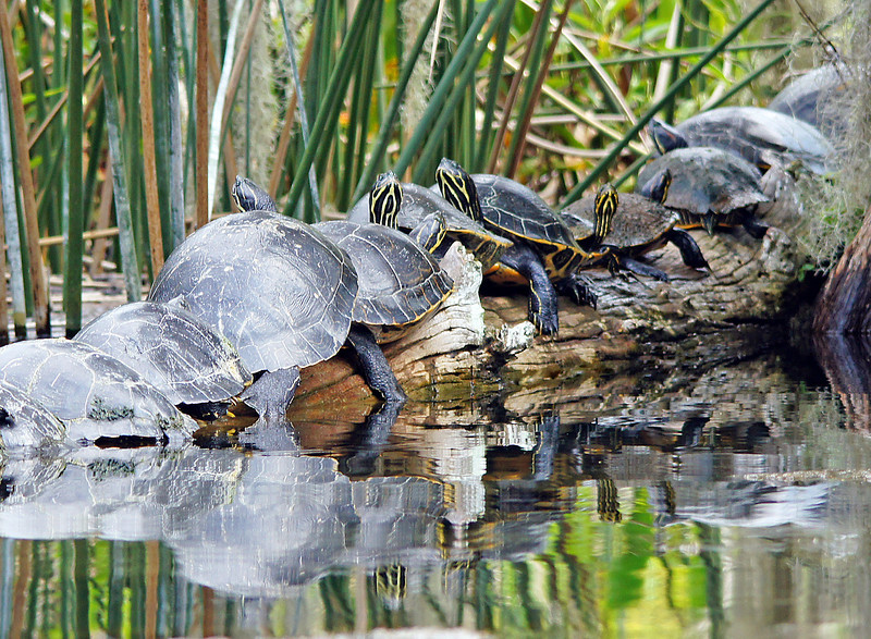 Turtles<br /> <br /> Turtles were on every log.