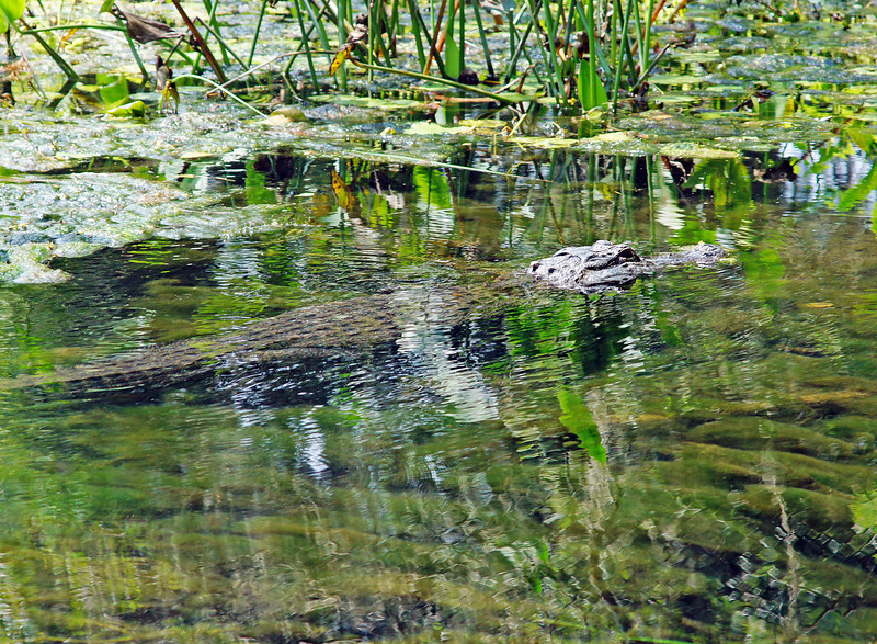 Wakulla Springs Alligator<br /> <br /> The boat tour goes through areas where the two Tarzan movies were filmed. This area of the river is completely undeveloped and kept just like it was in years past. Addie counted 19 alligators while cruising along the clear spring fed waters of the Wakulla River.