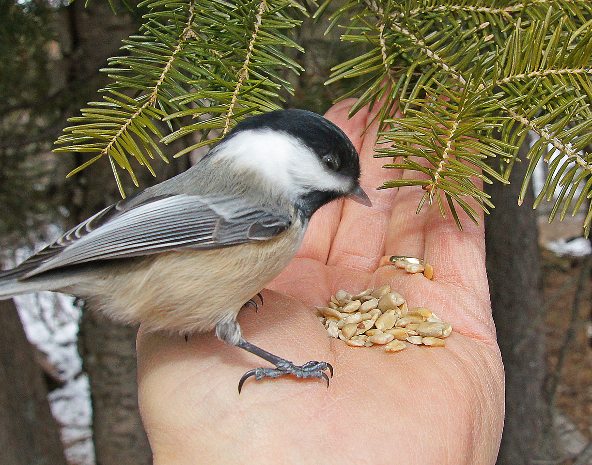 Chickadee 002<br /> <br /> The chickadees and nuthatches will eat right out of your hand.