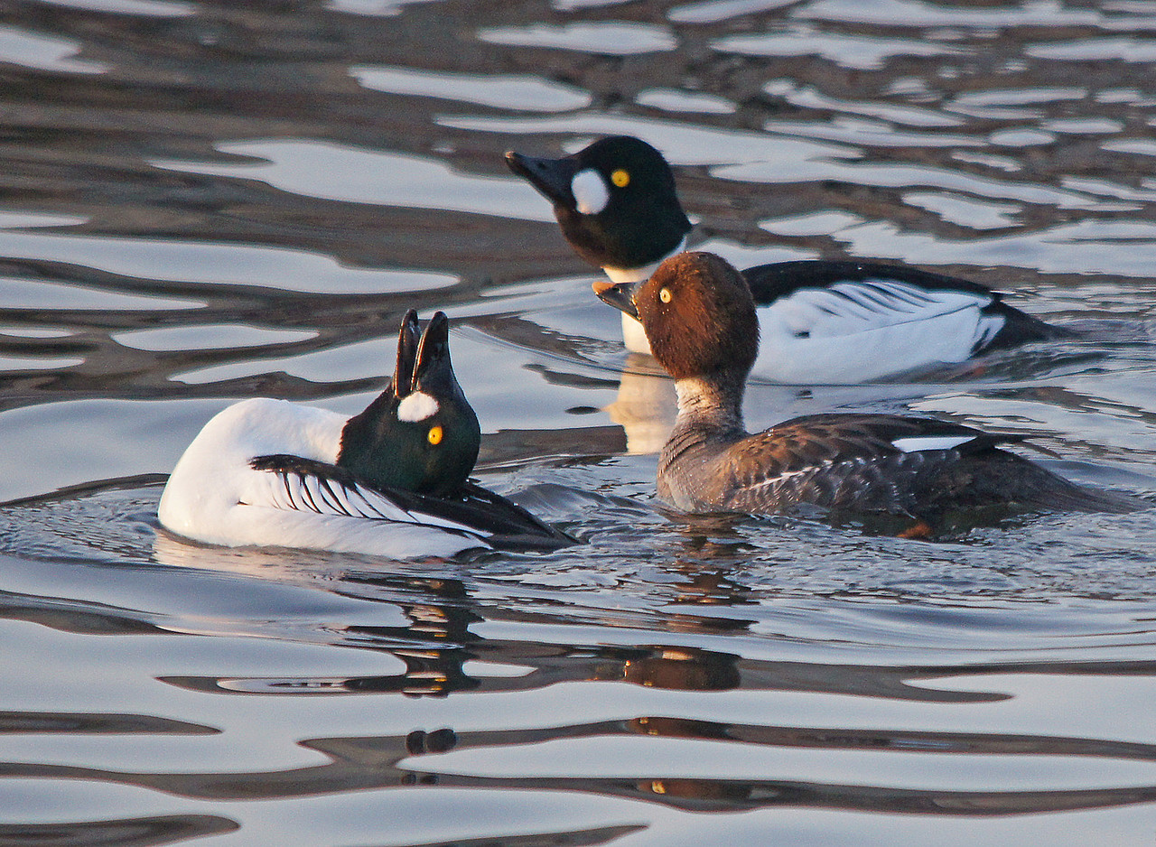Common Goldeneye 003<br /> <br /> Apparently this impresses the females.