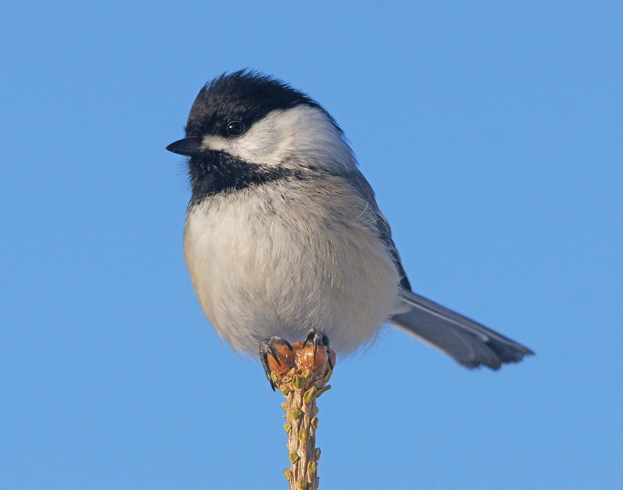 Chickadee 001<br /> <br /> A friend of ours who lives in Lutsen has fed birds for several years and some of them are getting pretty tame.