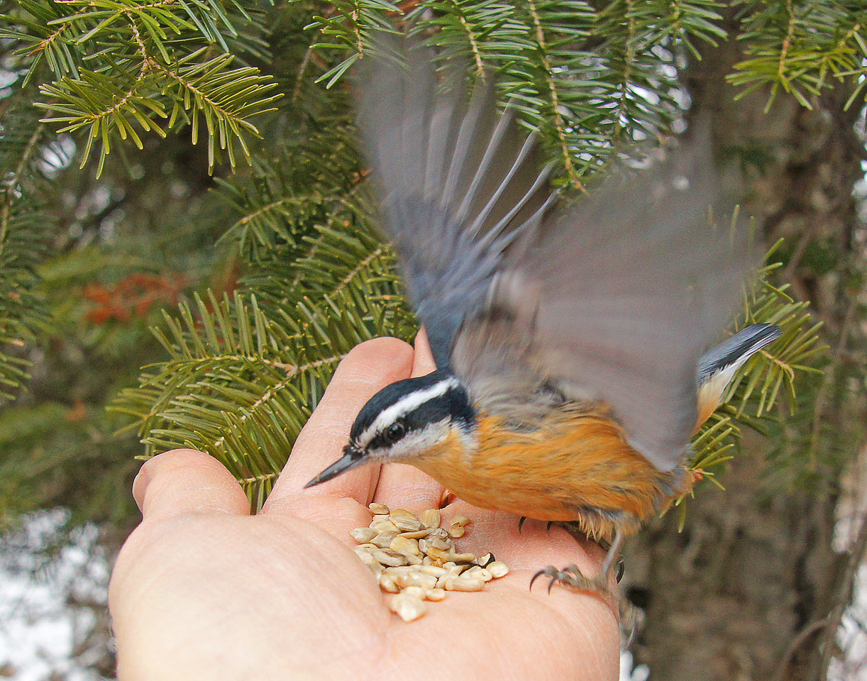 Nuthatch 002<br /> <br /> This little guys name is Norris.
